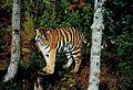 Tiger Björnparken Grönklitt 01.jpg