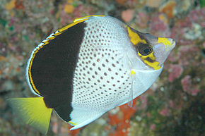 Description de l'image Tinker's Butterflyfish.jpg.