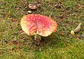 Toadstool at Advie Manse - geograph.org.uk - 978790.jpg