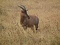 Topi Damaliscus lunatus jimela in Tanzania 3362 Nevit.jpg