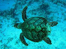 Photo from above of swimming turtle, with four outstretched flippers and faceted shell