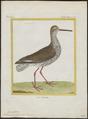 Totanus calidris - 1700-1880 - Print - Iconographia Zoologica - Special Collections University of Amsterdam - UBA01 IZ17400111.tif