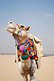 Traditionally decorated camel. Cairo, Egypt, North Africa.jpg