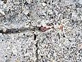 Trail made by variable coquina clam (Donax variabilis) (Cayo Costa Island, Florida, USA) 14 (25445772483).jpg