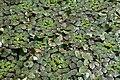 Trapa japonica dence leaves in Yokotake, Kanzaki.jpg