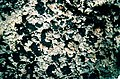 Trapeliopsis granulosa-2.jpg