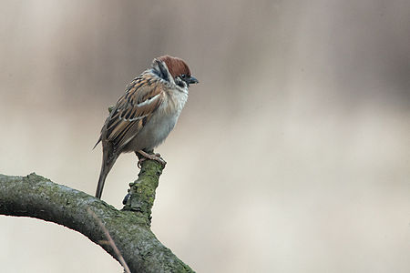 Tree Sparrow Lodz(Poland)(js)02.jpg