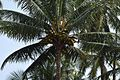 Tree full of coconuts (15719457283).jpg