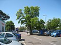 Tree in Sainsbury's Carpark, New Romney - geograph.org.uk - 1326496.jpg