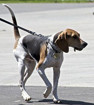 Treeing Walker Coonhound - Treeing Walker Coonhound on leash