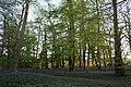 Trees and bluebells, Sisland Carr - geograph.org.uk - 477384.jpg