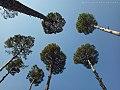 Trees in Patriata, Pakistan.jpg