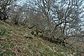 Trees on a steep slope near Glenure - geograph.org.uk - 1801522.jpg