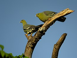 Treron australis -Ankarafantsika National Park, Mahajanga Province, Madagascar -two-8