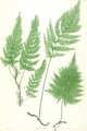Trichomanes speciosum Moore48.png