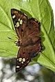 Tricoloured Pied Flat Coladenia indrani by Dr Raju Kasambe DSCN9927 (4).jpg