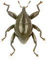 Trigonopterus kanawiorum holotype - ZooKeys-280-001-g042.jpg