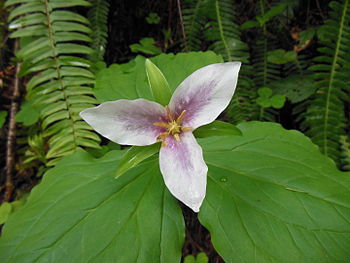 Pacific trillium in the Coast Range