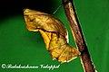 Troides minos pupa 2011 07 08 8178 Balakrishnan Valappil (6086016798).jpg