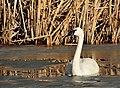 Trumpeter Swan on Seedskadee NWR (25570368735).jpg