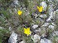 Tulipa australis2.jpg