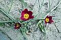 Tulipa humilis var. pulchella, Վարդակակաչ, Тюльпан приземистый - panoramio.jpg
