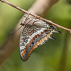 Two-tailed pasha (Charaxes jasius jasius) Greece.jpg