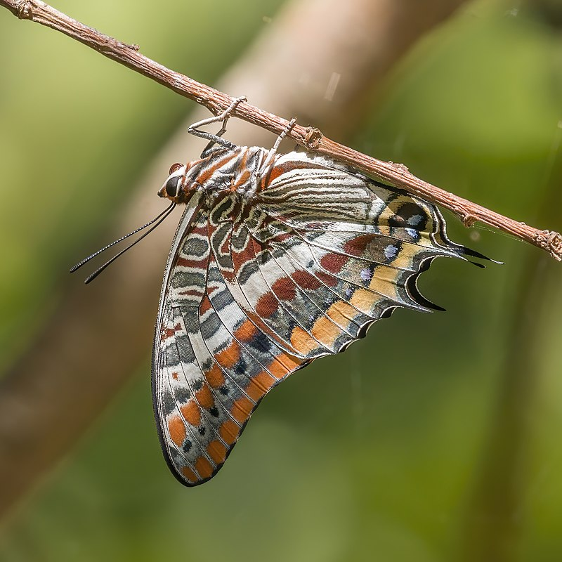 File:Two-tailed pasha (Charaxes jasius jasius) Greece.jpg