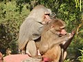 Two monkeys looking at their hands, Nehru Zoological Park, India in 2015.jpg