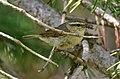 Tytler's Leaf Warbler (Phylloscopus tytleri) (39638080561) (cropped).jpg
