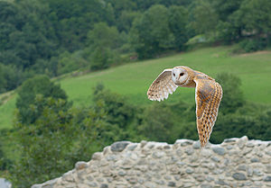 Barn Owl in flight Tyto alba. Français : Choue...