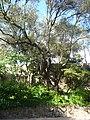 Ullastre del Parc Güell P1500840.jpg