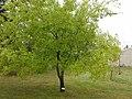 Ulmus parvifolia.jpg