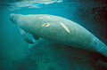 Underwater photo of manatee mammal with scar on skin.jpg