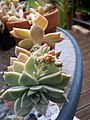 Unidentified Succulents (6034227995).jpg