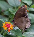 Unidentified butterfly 05.jpg