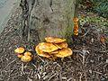 Unidentified fungus - 2000-10-12 - Andy Mabbett - 02.jpg