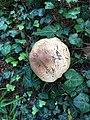 Unidentified mushroom in Freiburg, Switzerland 3.jpg