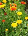 Unknown yellow-orange flowers.jpg
