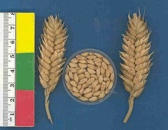 Common wheat - Ears of compact wheat