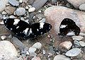 VB 069 Magpai Crow.jpg