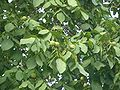 VM Yuanmingyuan walnut tree 4420.jpg