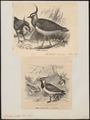 Vanellus cristatus - 1700-1880 - Print - Iconographia Zoologica - Special Collections University of Amsterdam - UBA01 IZ17200117.tif