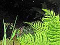 Vegetation, wayside stream, Lochcarron to Ardaneaskan. - panoramio.jpg