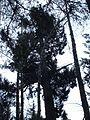 Veitch Viking - King of the Trees - panoramio.jpg