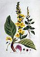 Verbascum nigrum — Flora Batava — Volume v1.jpg