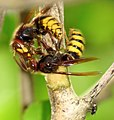 Vespa crabro fighting4.JPG