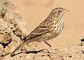 Vesper Sparrow 2 wray (8271884733).jpg