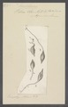 Vibrio olor - - Print - Iconographia Zoologica - Special Collections University of Amsterdam - UBAINV0274 113 12 0004.tif