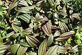Viburnum davidii kz2.jpg